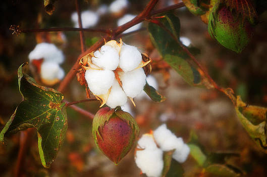 Cotton Boll by Sarah Barber