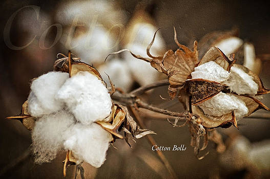 Cotton Bolls by Lena Wilhite