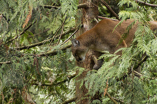 Cougar crouch by Daryl Hanauer