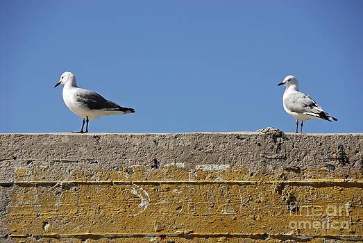 Couple of Seagulls on a wall by Sami Sarkis