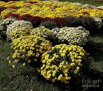 Covered In Mums by Kathleen Struckle