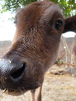 Cow Closeup by Abhinav Krishna Dwivedi