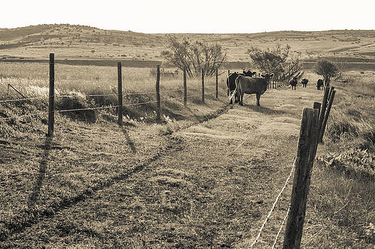 Cows in the Lane by Dawn Romine