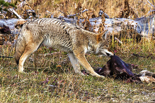 Coyote Carcass by Bill Keeting