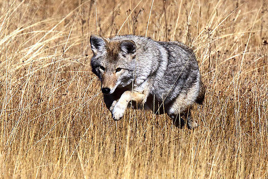 Coyote Mousing by Bill Keeting