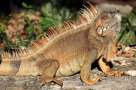 Adam Jewell - Cozumel Iguana Vacation