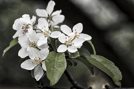 Steven Ralser - Crabapple blossoms - arboretum - Madison