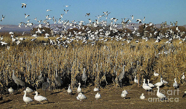 Steven Ralser - cranes and geese 2