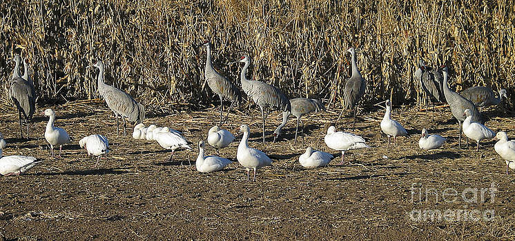 Steven Ralser - Cranes and geese