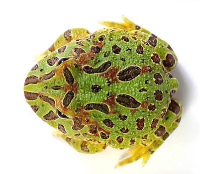 Francesco Tomasinelli - Cranwells Horned Frog