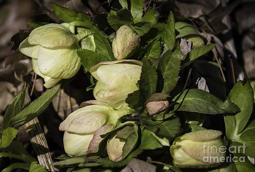 Teresa Mucha - Cream Lenten Rose 2