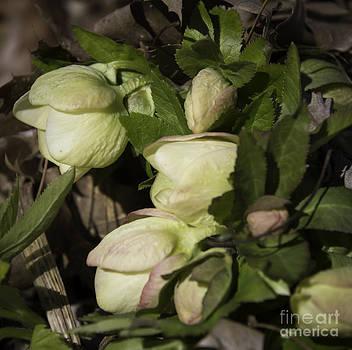 Teresa Mucha - Cream Lenten Rose