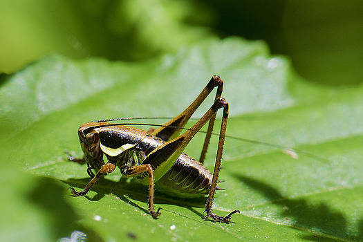 Cricket by Giovanni Chianese