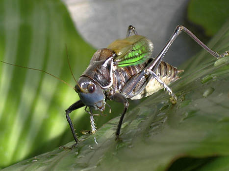 Qing  - Crickety Cricket