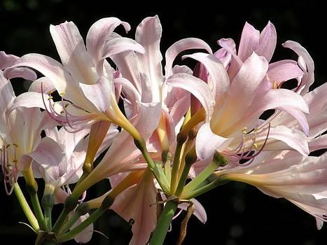 Alfred Ng - Crinum lily
