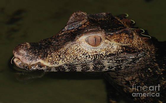 Joe Cashin - Crocodile