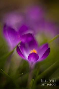 Mike Reid - Crocus Bloom Edge Glow