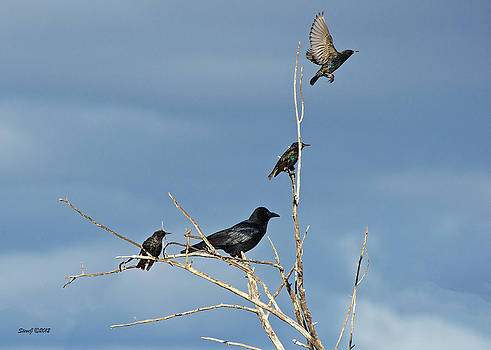 Crow and Starlings by Stephen  Johnson