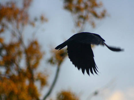 Gothicolors Donna Snyder - Crow In Flight 4