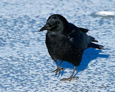 Crow on Ice by Stephen  Johnson