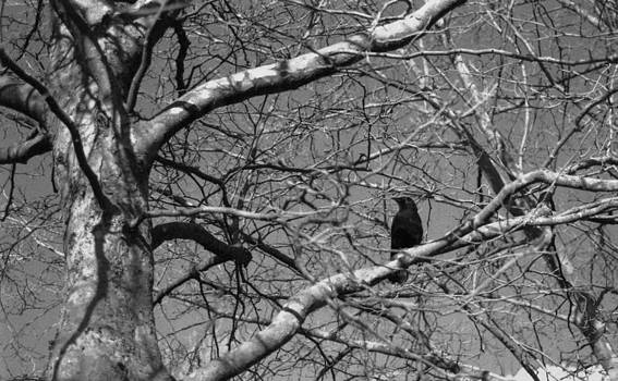 Crow by Willam Carrion