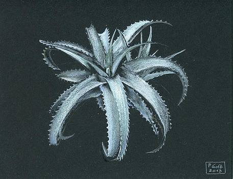 Cryptanthus warasii by Penrith Goff