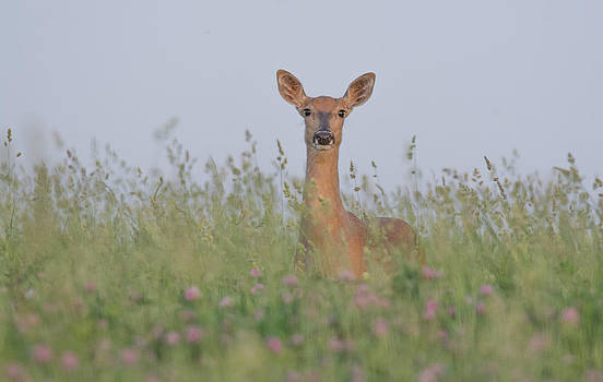 Curious Doe by Christopher L Nelson