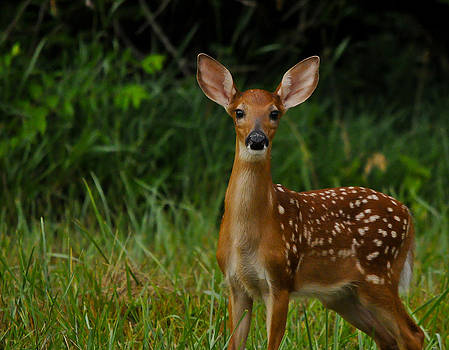 Curious Fawn by Dave Weth