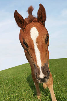 Curious foal by Sharon Kingston