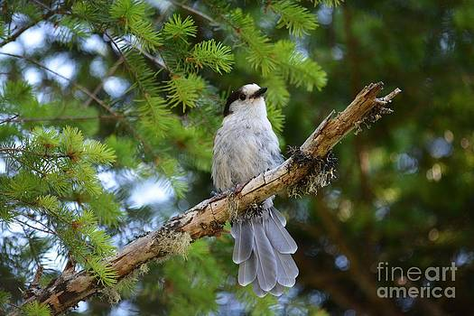 Curious Gray Jay by Gayle Swigart