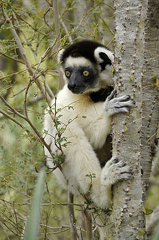 Michele Burgess - Curious Sifaka 2