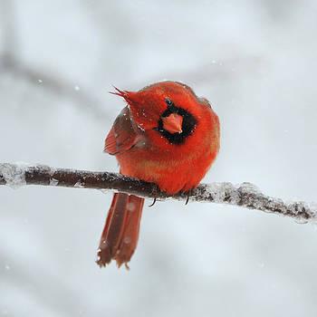 Curious Snow Cardinal by Sarah Rodefeld