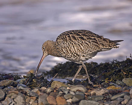 Curlew by Paul Scoullar