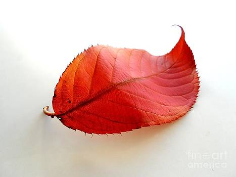 Curly Red Leaf by Phil Paynter