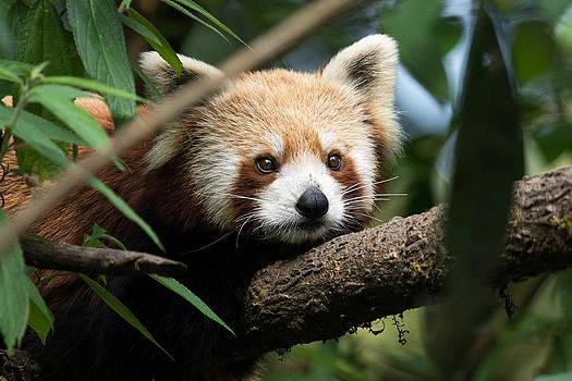 Cute Panda by Fotosas Photography