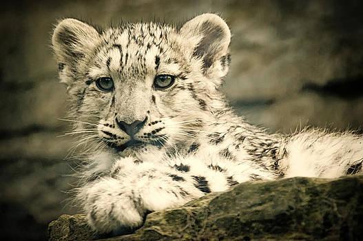 Cute Snow Cub by Chris Boulton