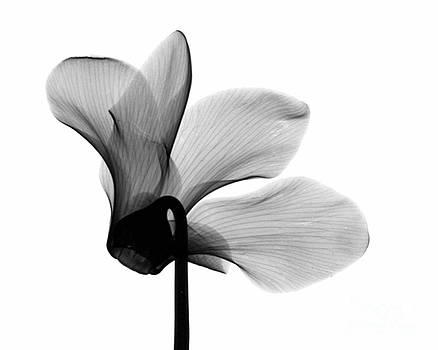 Bert Myers - Cyclamen Flower X-ray