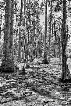 Dan Carmichael - Cypress Trees and Water Lilies BW