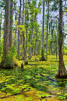 Dan Carmichael - Cypress Trees and Water Lilies