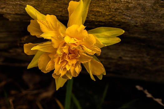 Dafadill in the woods by Amy Lingle