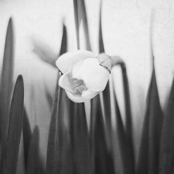 Daffodil - in Black and White by Jessie Gould