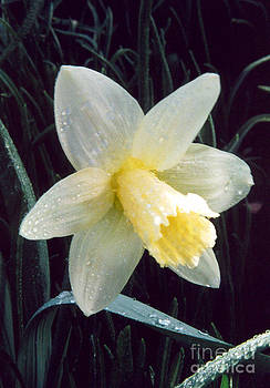 Daffodil Bloom In A Spring Rain by ImagesAsArt Photos And Graphics