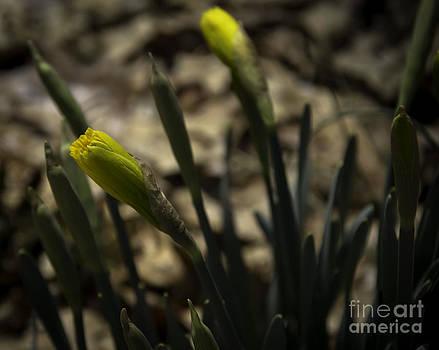 Teresa Mucha - Daffodil Bud