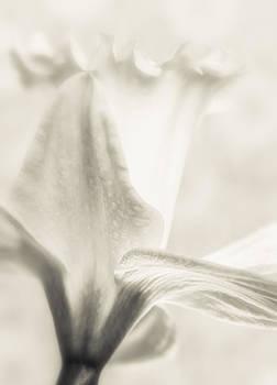 Daffodil BW by Janice Sullivan