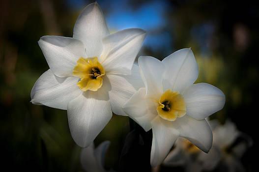 Daffodil Dreamin by Jen Baptist