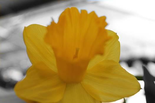 Daffodil by Heather Ann Myers