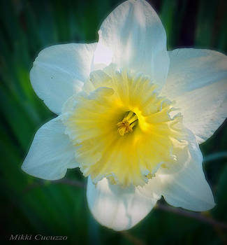 Daffodil in the sun by Mikki Cucuzzo