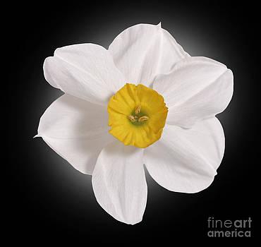 Daffodill  by Tony Cordoza