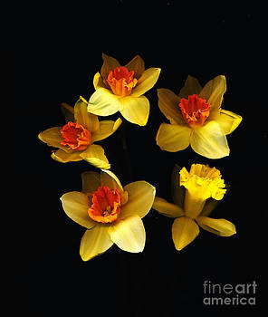 Daffodils in Bloom by Don Fleming