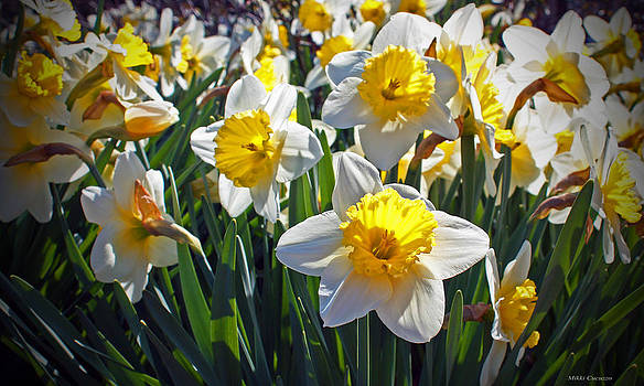 Daffodils by Mikki Cucuzzo